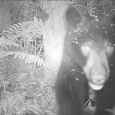 Every now and then wildlife cameras capture a special bit of footage. This is one such video. Courtesy of Richard Greene, recognized Berkshire Wildlife Tracker. great_bear_video