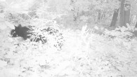 Berkshire Wildlife Trackers (BWT) presents. . . Winter Wildlife Videos 2013-2014 Bobcat: Great Barrington, MA Sheffield, MA Great Barrington, MA Great Barrington, MA Great Barrington, MA Great Barrington, MA Sheffield, […]